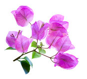 Bouganvilla Stockbild