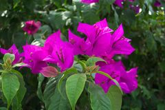 bouganvilla Obraz Royalty Free