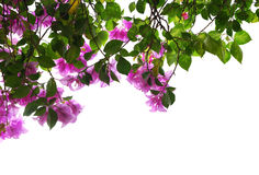 Bouganvilla Stock Photo