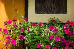 Bouganvilla blüht nahe verlassenem Fenster Lizenzfreies Stockbild