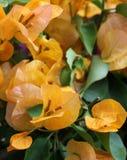 Bouganvilla blommor Arkivbild