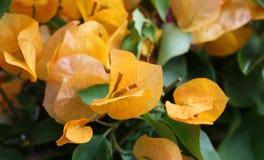 Bouganvilla blommor Arkivfoton