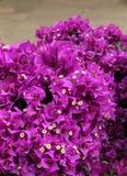 Bouganvilla blommor Royaltyfria Bilder