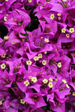 Bouganvilla blommor Arkivfoto