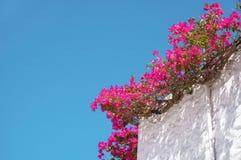 Bouganvilla-Blumen auf einem blauer Himmel-Hintergrund stockfoto