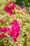 Bouganvilla-Blumenblühen Stockbilder