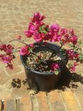 Bouganvilla Royalty Free Stock Images