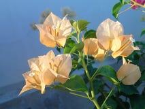 Bouganvilla an den botanischen Gärten Singapurs Lizenzfreies Stockbild