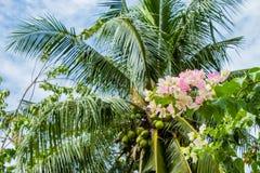 Bouganvilla glabra im Garten Lizenzfreies Stockfoto