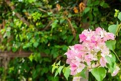 Bouganvilla glabra im Garten Lizenzfreies Stockbild