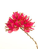 Bouganvilla hybrida, rosa Papierblume Lizenzfreies Stockbild