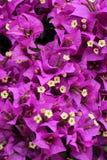 Bouganvilla kwiaty Zdjęcie Stock
