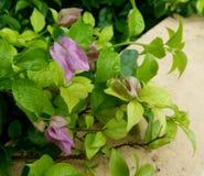 The bouganvilla mit allen seinen Dornen ist aber eine schöne Blume Stockfotos