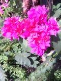 The bouganvilla mit allen seinen Dornen ist aber eine schöne Blume Lizenzfreie Stockfotografie