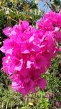 The bouganvilla mit allen seinen Dornen ist aber eine schöne Blume Lizenzfreies Stockbild