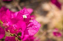 The bouganvilla mit allen seinen Dornen ist aber eine schöne Blume stockbilder
