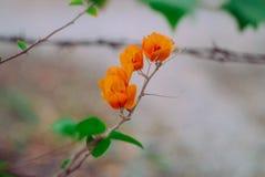 Bouganvilla oder Papierblume Stockfotos
