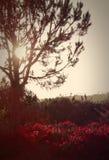 Bouganvilla und ein Baum hintergrundbeleuchtet bis zum dem Sun, Palos Verdes, Kalifornien Stockfoto
