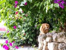 Bouganvilla und eine Katze Lizenzfreie Stockfotos