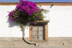 Bouganvilla und Fenster in Tequisquiapan lizenzfreies stockbild