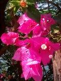 Bouganvilla van het document Flower Stock Afbeeldingen