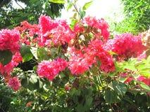 Bouganvilla van het document Flower Stock Fotografie