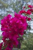 Bouganvillablüte stockbild