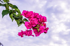 Bouganvillablume Stockbild