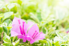 Bouganvillablume, rosa Blumen blühen im Sonnenschein Lizenzfreies Stockbild