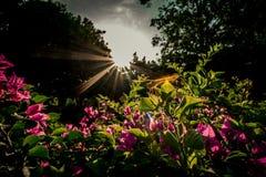 Bouganvillablumen, die schönen purpurroten Frühlingsblumen mit Sonnenlicht im Hintergrund lizenzfreie stockbilder