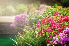 Bouganvillablumen in einem Garten Lizenzfreie Stockfotografie