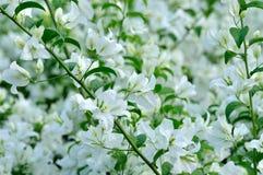 Bouganvillablumen im Weiß Lizenzfreie Stockfotos