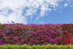 Bouganvillablumen, schön in Rotem und in Purpurrotem in einer Hecke oder in einem Busch mit blauem Himmel lizenzfreie stockfotos
