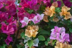 Bouganvillablumen von verschiedenen Farben Lizenzfreie Stockfotos