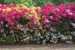 Bouganvillablumen von verschiedenen Farben Lizenzfreies Stockbild