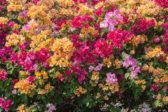 Bouganvillablumen von verschiedenen Farben Stockbilder