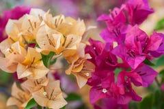 Bouganvillablumen von verschiedenen Farben Stockbild
