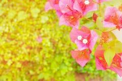 Bouganvillablumenpurpur mit Grün verlässt schön im Garten mit Kopienraum addieren Sie Text Stockbild