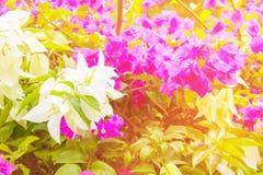 Bouganvillablumenweiß mit Grün verlässt schön im Garten mit Kopienraum addieren Sie Text Stockbild