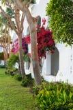 Bouganvillabusch und -bäume im arabischen Garten Lizenzfreie Stockfotos