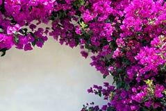 Bouganvillée Image libre de droits