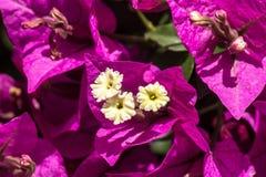 紫色bouganvillea 图库摄影