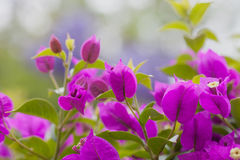 Bouganvillea Obraz Stock