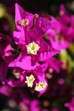 Bouganvillea. Small purple flower bloom Royalty Free Stock Photos