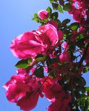 bouganvillea Obraz Royalty Free