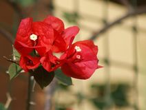 Bouganvillea Images stock