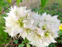 Bouganvillea blanc Photographie stock libre de droits