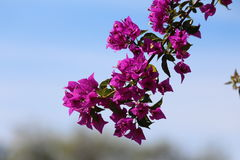 Bouganvillea Royalty Free Stock Photography