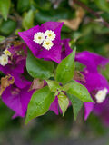 Bouganvillea. A bougainvillea always revives an environment Royalty Free Stock Images