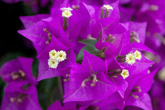 Bouganvillea Stock Photos